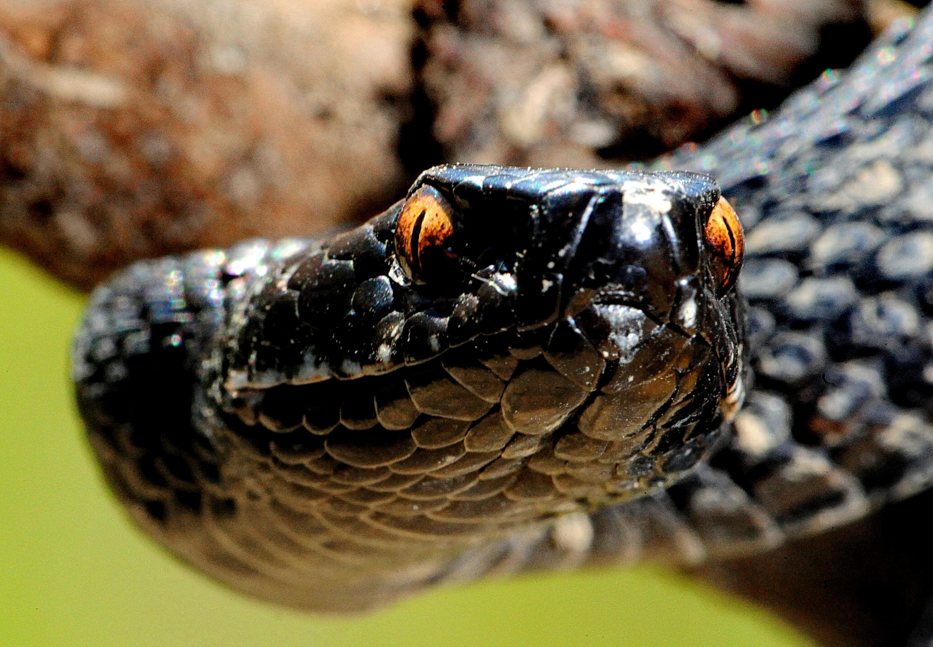 Curios Fapte Copperhead Snake