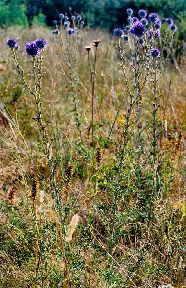 Image201EchinopsRitroRuthenicus