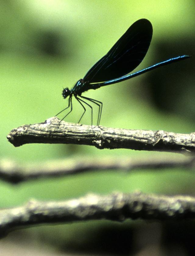283CalopteryxVirgoMascul